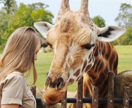 australia zoo giraffe was feed by a gorgeous lady