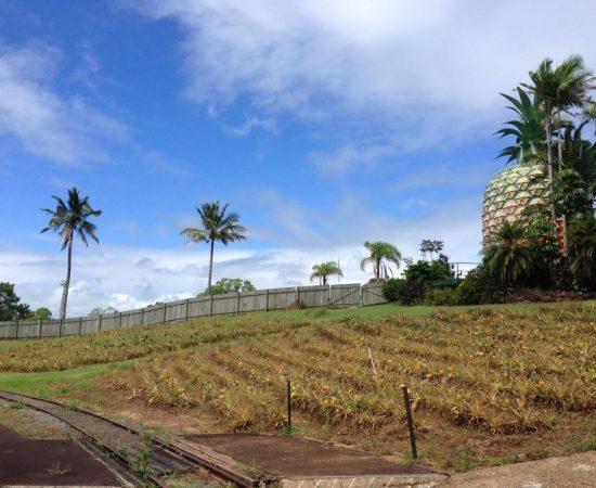 the big pineapple plantation